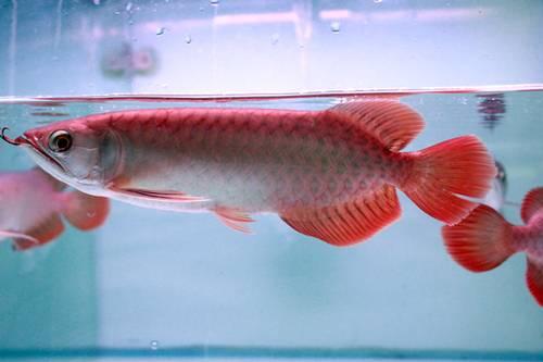 Arwana Banjar Red